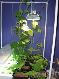 bean plants under the lights