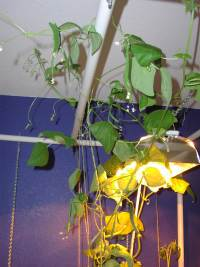 bean vines up under the lights