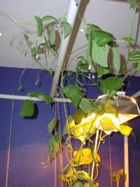 bean vines up under the lights