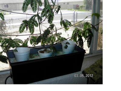 Mimosa(sensitive plant)