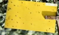 Yellow sticky trap for fungus gnats