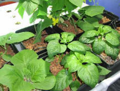 plant variety in hydroponic unit