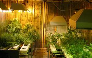 hydroponic garden in basement