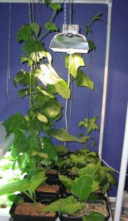 hydroponics thrive under HID lamp