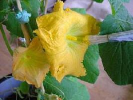 hand pollination