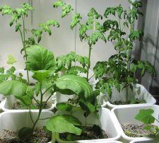 Healthy hydroponic plants