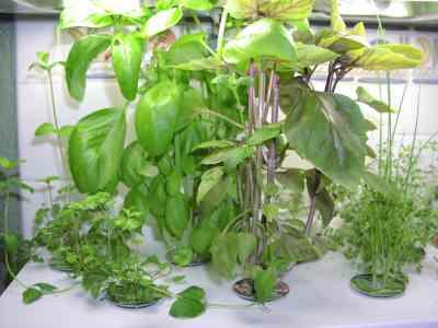 prolific kitchen herb garden