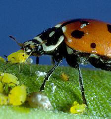 Yum! Ladybug eating aphids