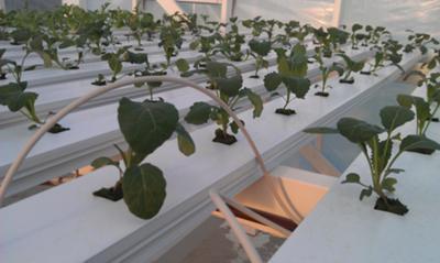 Young kale plants.