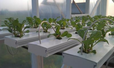 Young Swiss Chard plants.
