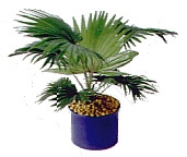 plant potted with LECA
