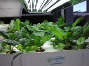 lettuce raft with Romaine