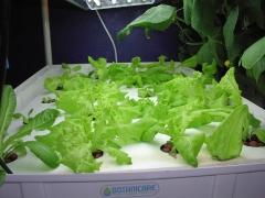lettuce, day 14