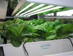 hydroponic lettuce, day 23