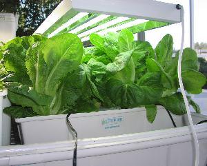 Romaine lettuce from T5s