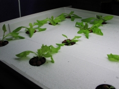 mixed lettuces, day 9