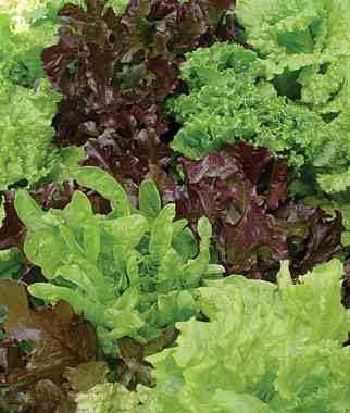looseleaf lettuce blend