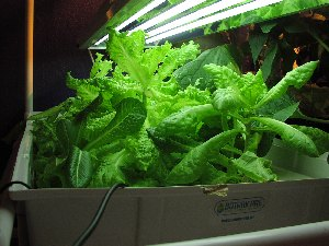 mixed lettuces under the lights