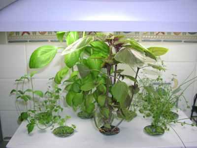 my aeroponic herbs