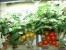 patio tomatoes
