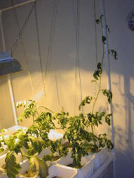 poor pitiful tomato plant