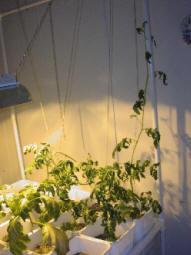 poor pitiful tomato plant