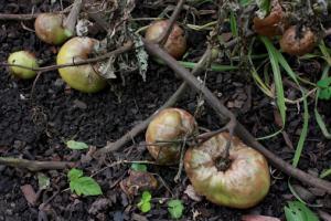 rotten tomato garden