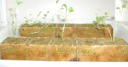 seedlings in grodan cubes