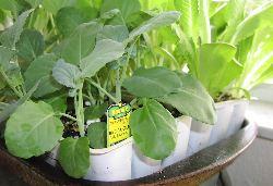 store-bought seedlings