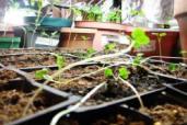 Spindly seedlings