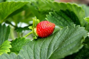 juicy red strawberry from your basement
