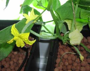 tiny cucumbers on female flowers