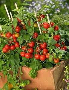 HYDROPONIC GARDENS-Training & Pruning your Vining Plants