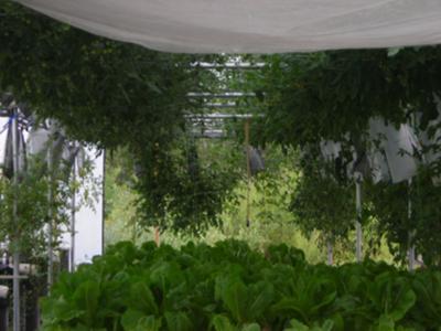 Romaine in NFT under Horizontal Tomatoes