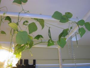 bean vines love the PVC hydroponics stand