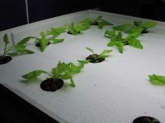 Lettuce day 9