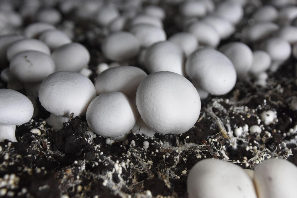 hydroponic mushrooms