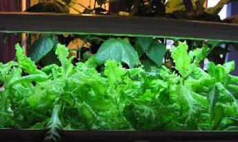 lettuce raft
